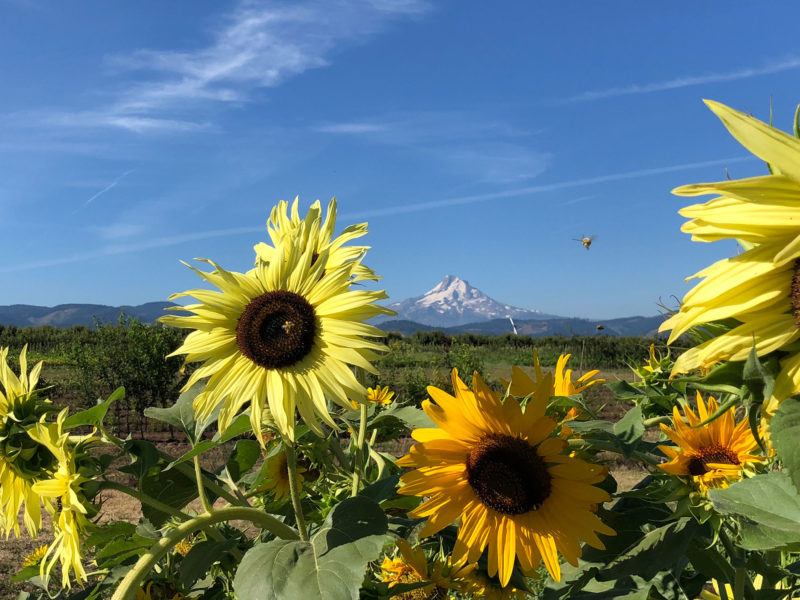 sunflowers with mountain in distance