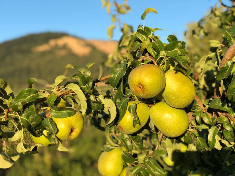 closeup of pears on tree